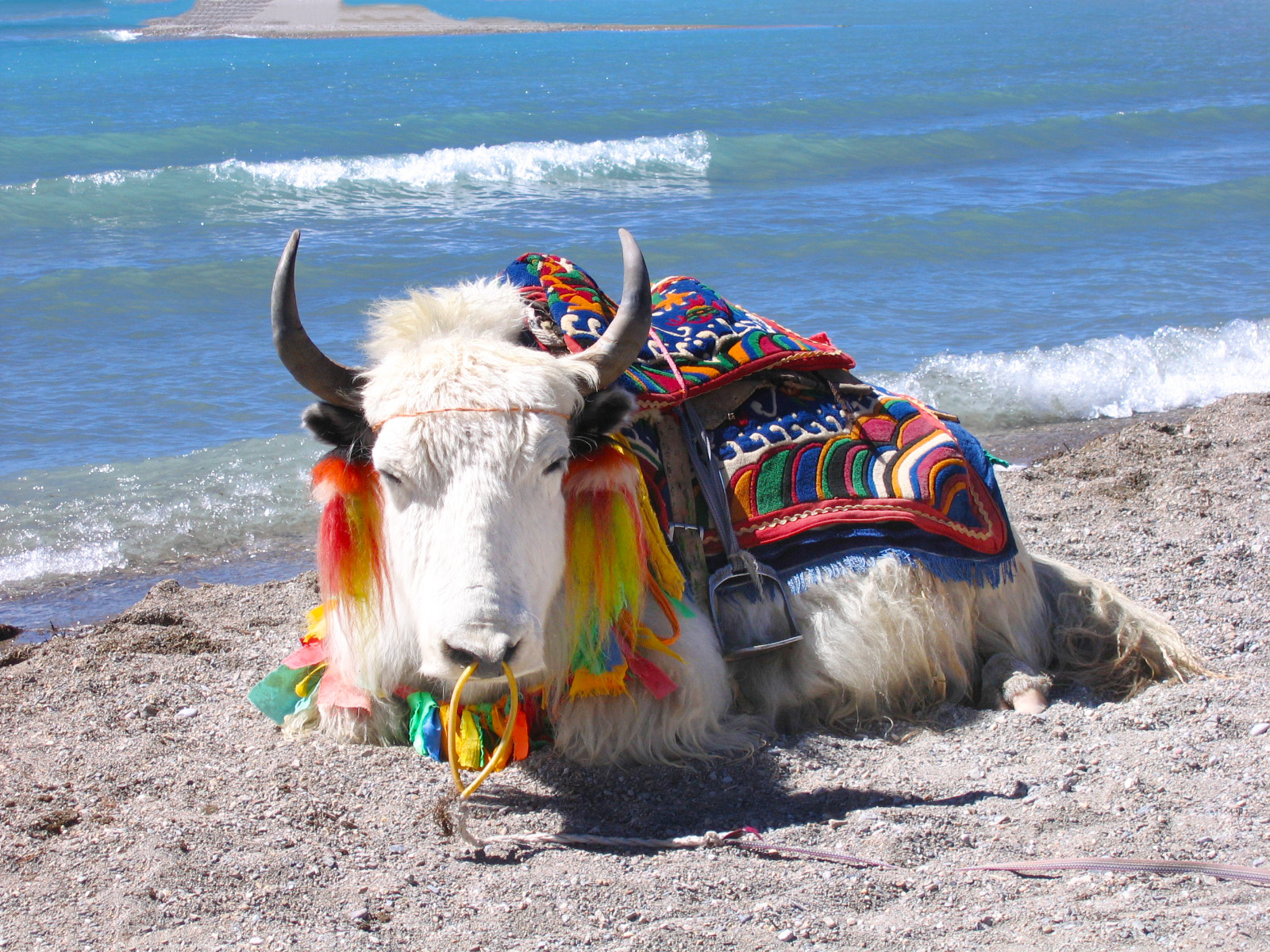 7 days in Tibet, discover Yaks