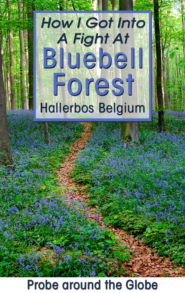 picture of the bluebell forest in Hallerbos Belgium with text overlay saying How I got into a fight at Bluebell Forest Probe around the Globe